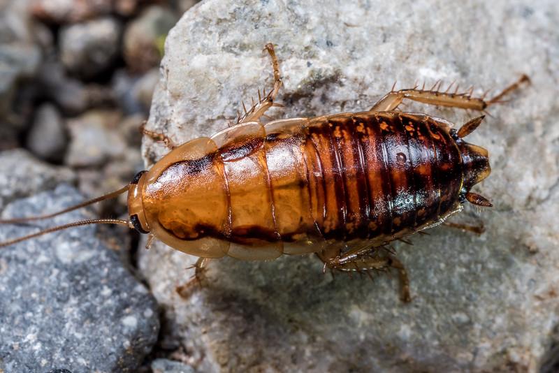 Wingless bush cockroach (Celatoblatta vulgaris). Lewis Pass.