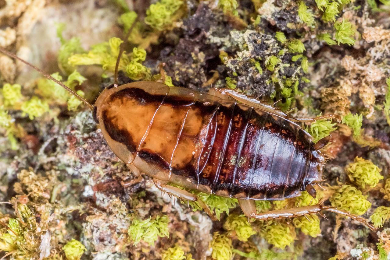 Wingless native bush cockroach (Celatoblatta vulgaris). Saint Arnaud, Nelson Lakes National Park.