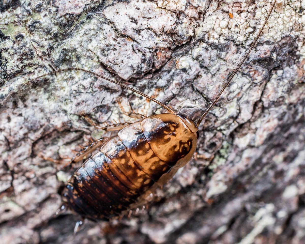 Cockroach (Celatoblatta vulgaris). Lake Monk, Fiordland National Park.