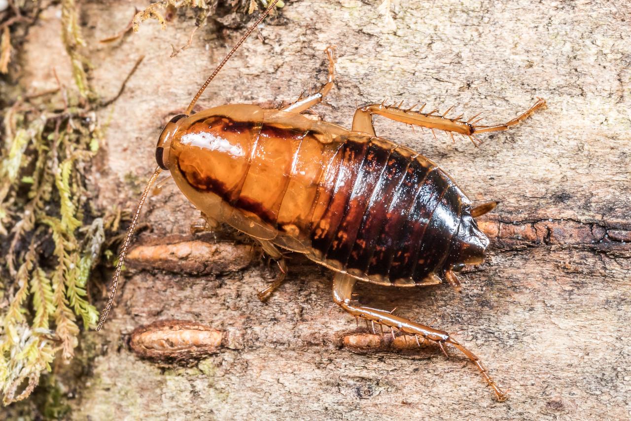 Wingless bush cockroach (Celatoblatta vulgaris). Three Pointer, Heaphy Track, Kahurangi National Park.