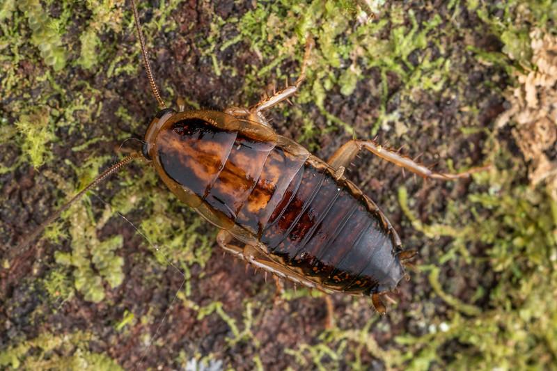 Cockroach (Celatoblatta vulgaris). Poukaria campsite, Whanganui River.