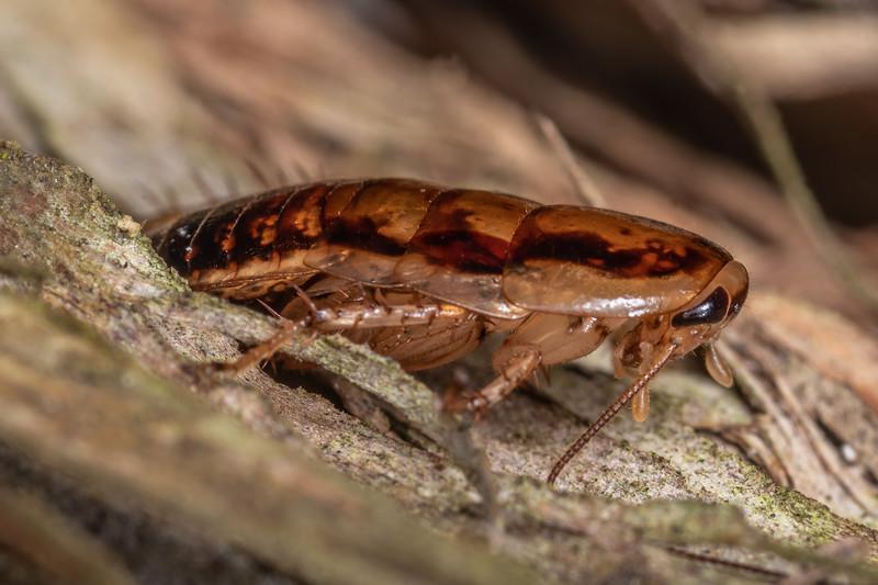 Cockroach (Celatoblatta vulgaris). Hinau Track, Kaikōura.