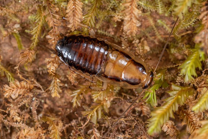 Cockroach (Celatoblatta vulgaris). Patea Loop Track, Taranaki.