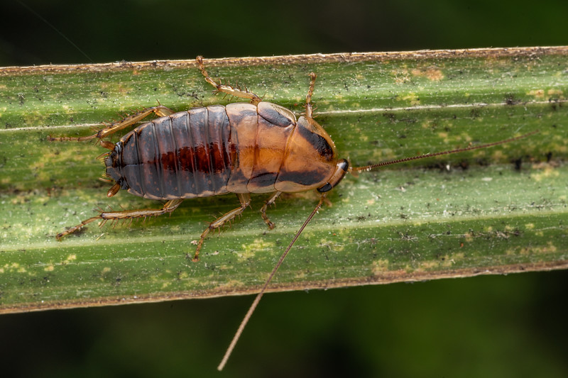Cockroach (Celatoblatta vulgaris). Waihohonu Hut, Tongariro National Park.