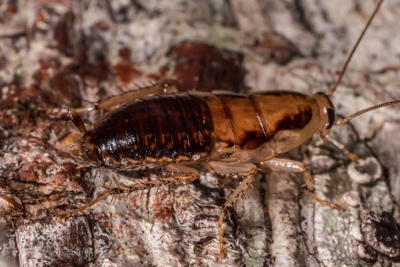 A large wingless bush cockroach (Celatoblatta vulgaris), body length approx 20mm. Gouland Downs, Heaphy Track, Kahurangi National Park.