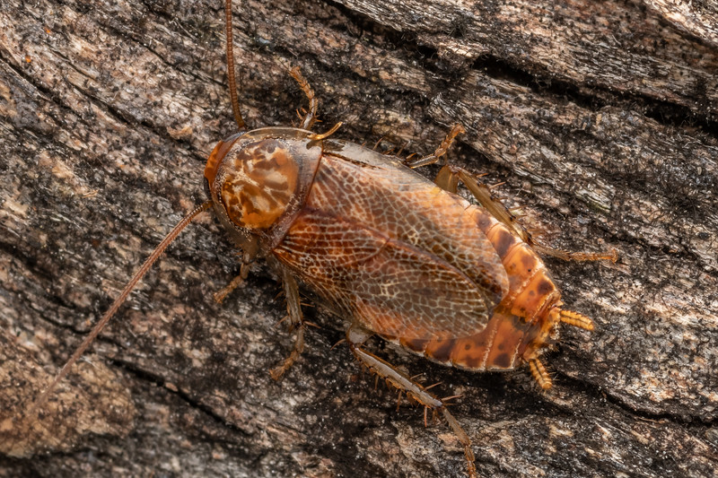 Cockroach (Ornatiblatta maori). Driving Creek Ecosanctuary, Coromandel.