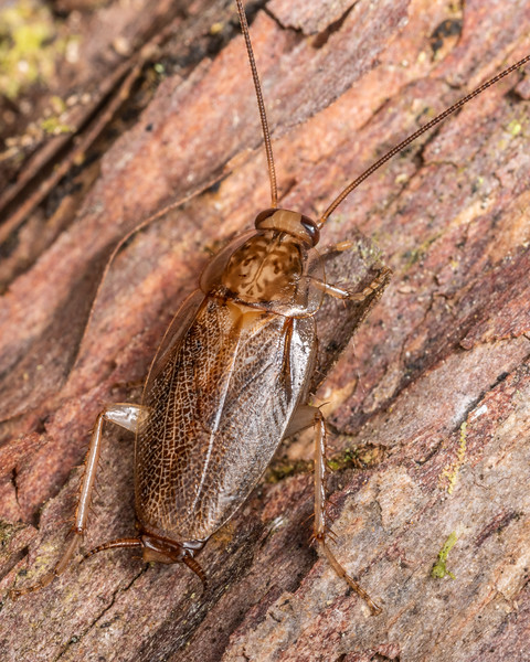Cockroach (Parellipsidion latipenne). Mangahopue Arch Track, Waitomo.