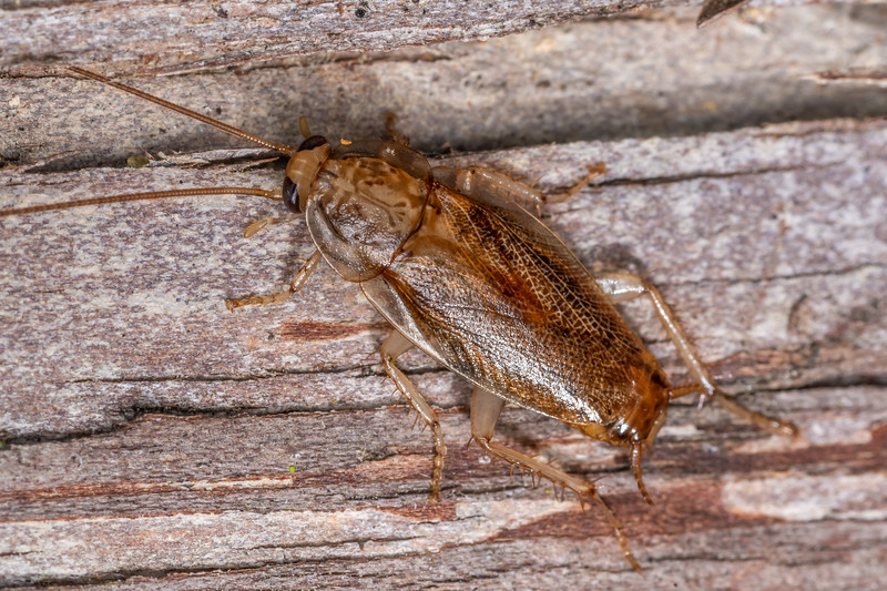 Cockroach (Parellipsidion latipenne). Cullen Point Track, Havelock.