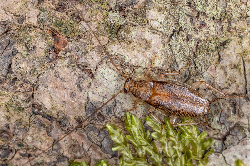 Cockroach (Parellipsidion latipenne). Tangihua Forest Nature Walk, Whangarei, Northland.