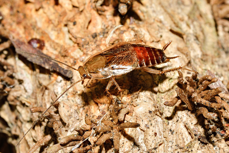 Winged bush cockroach (Parellipsidion pachycercum). Opoho, Dunedin.