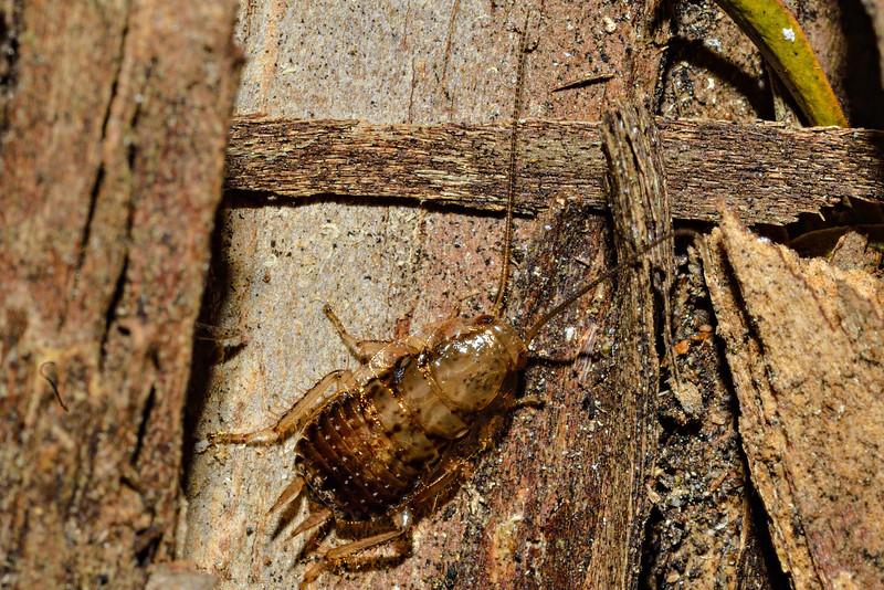 Cockroach (Parellipsidion pachycercum) juvenile. Opoho, Dunedin.