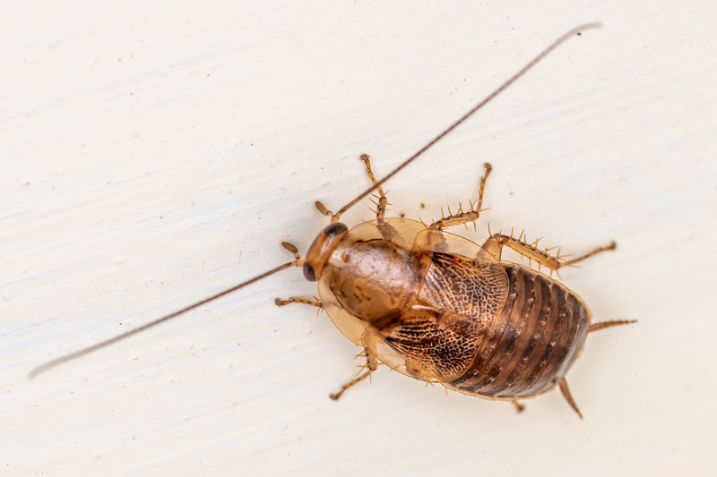 Native cockroach (Parellipsidion pachycercum). Opoho, Dunedin.