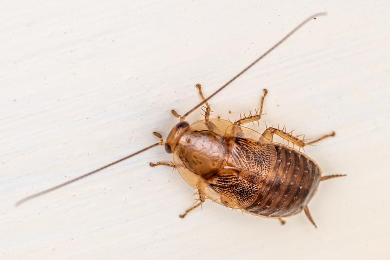 Native cockroach (Parellipsidion pachycercum). Opoho, Dunedin.