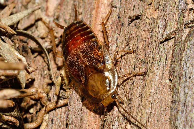 Winged bush cockroach (Parellipsidion pachycercum). Opoho, Dunedin.