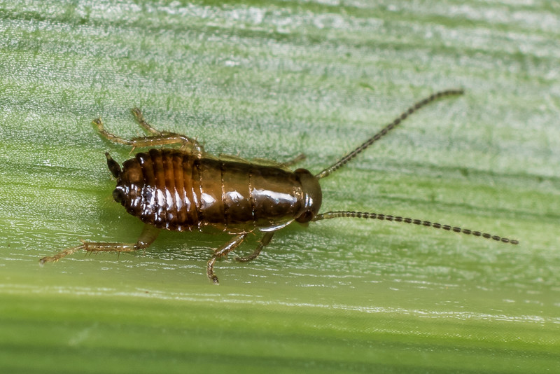 Cockroach (Blattodea), unidentified, probably a juvenile. On flax leaf. Westies Cave, Prices Harbour, Fiordland National Park.
