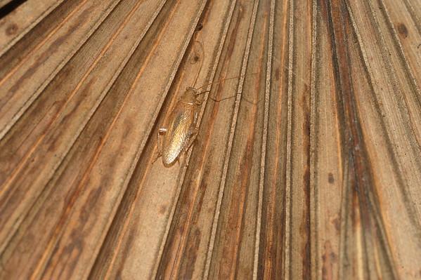 Ectobiidae gen. sp. Berry Springs, NT, Australia. January 2010