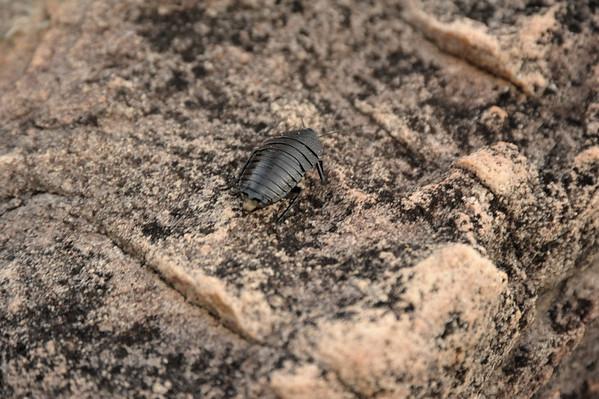 Blattidae, Polyzosteriinae, female. Ubirr, Kakadu National Park, NT, Australia. October 2010
