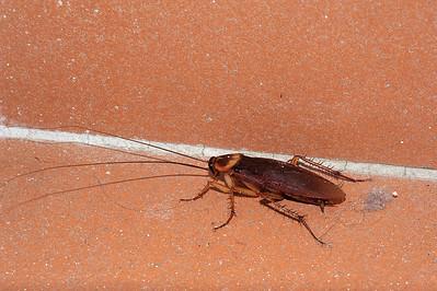 Periplaneta americana. Darwin, NT, Australia. September 2011
