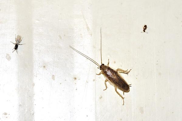 Blattellidae. Mataranka Homestead, NT, Australia. April 2010