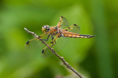 4 Spotted Skimmer