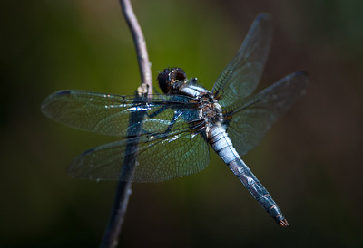 Chalk Fronted Corporal Dragonfly