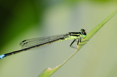 Eastern Forktail Damselfly (male)