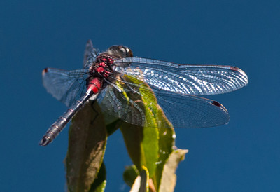 Crimson-ringed Whiteface Dragonfly