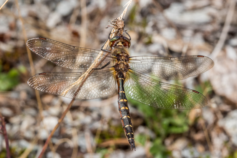 Smith's dragonfly (Procordulia smithii). Matukituki River mouth, Lake Wanaka.