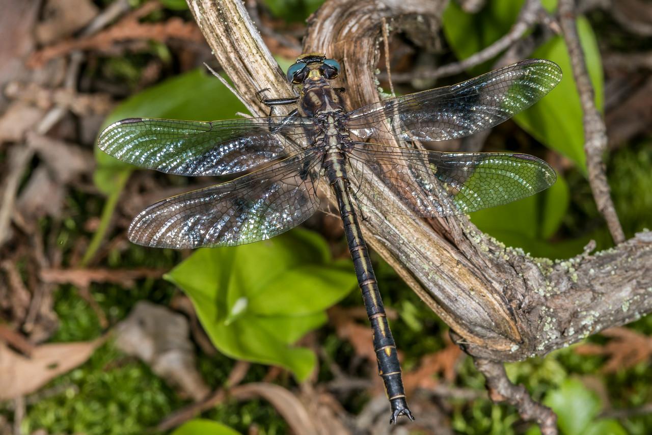 Dusky clubtail (Gomphus spicatus). Bensen Lake, George H. Crosby - Manitou State Park, Minnesota.