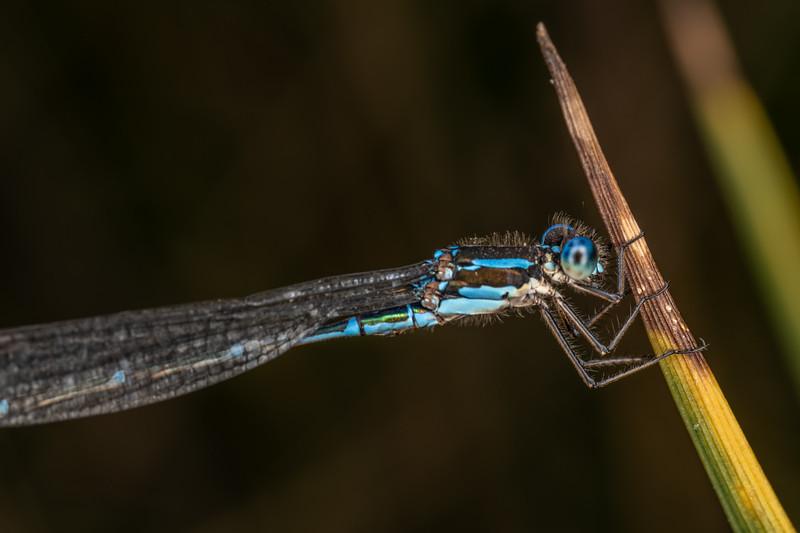 Blue damselfly (Austrolestes colensonis). Sinclair Wetlands, Dunedin.