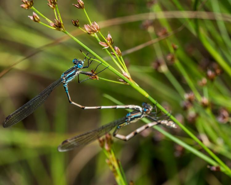 Blue damselfly (Austrolestes colensonis). Deep Stream, Otago.