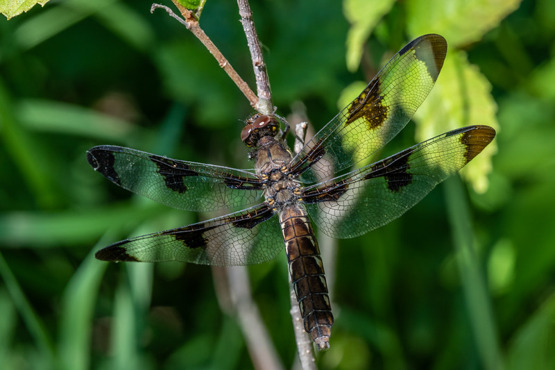Common whitetail (Plathemis lydia). <br /> Wild River State Park, MN, USA.