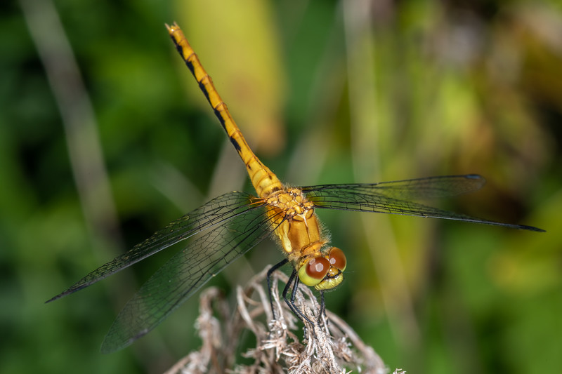 Meadowhawk (Sympetrum spp.). Wild River State Park, MN, USA.
