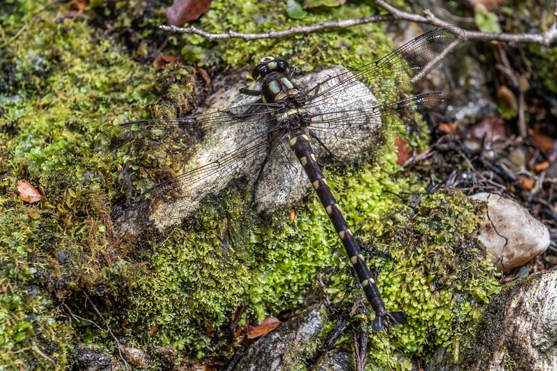 Bush giant dragonfly / kapokapowai (Uropetala carovei). Blue River Hut, Moeraki River, Westland.
