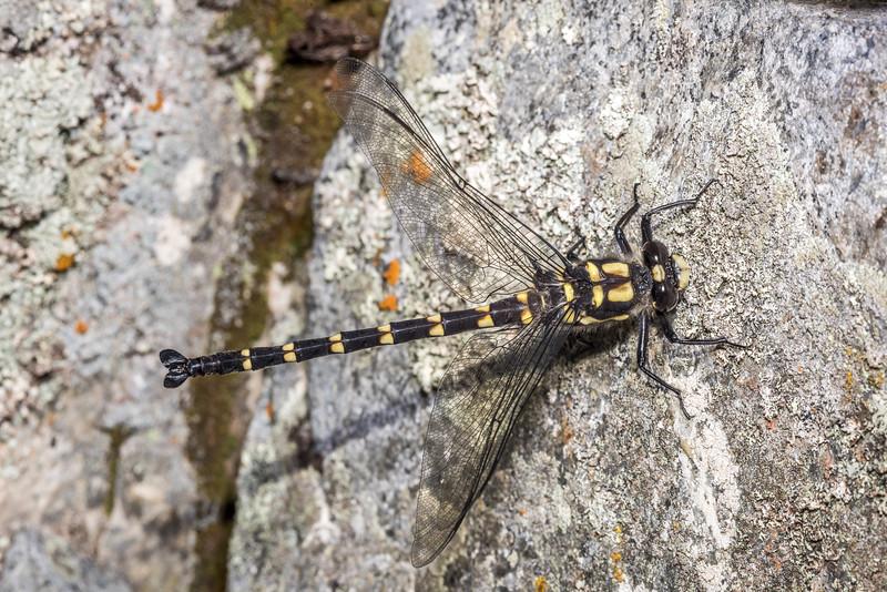 Mountain giant dragonfly (Uropetala chiltoni). Comyns Stream, Black Hill Range, Canterbury.