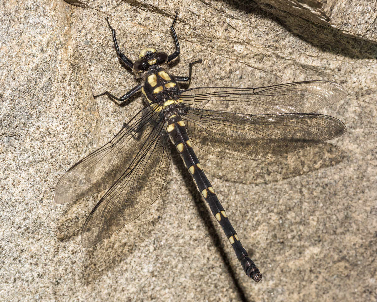 Mountain giant dragonfly (Uropetala chiltoni). Round Hill Creek, Taylor Range, Canterbury.