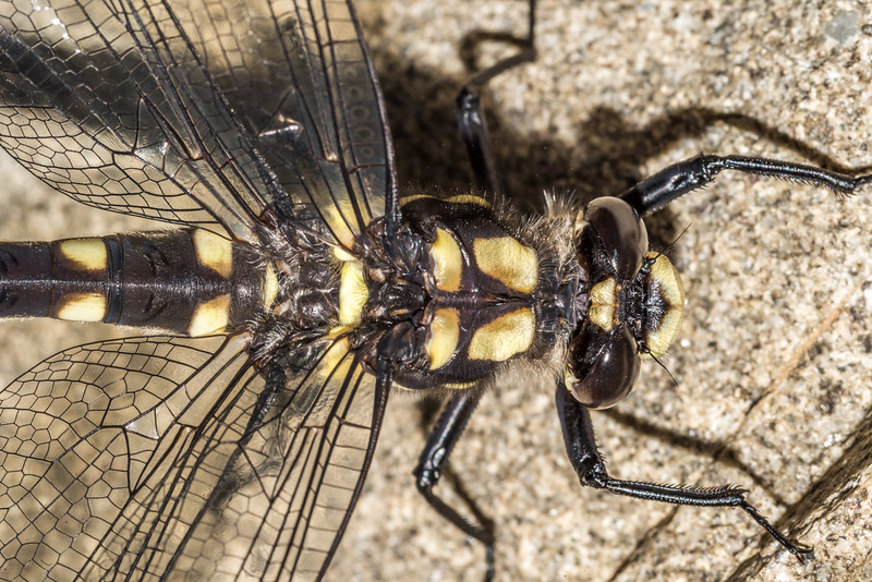 Mountain giant dragonfly (Uropetala chiltoni). Round Hill Creek, Taylor Range, Canterbury.