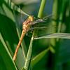 Common Darter (F)