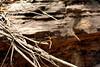 Neurothemis stigmatizans, male. Kakadu National Park, NT, Australia. September 2010