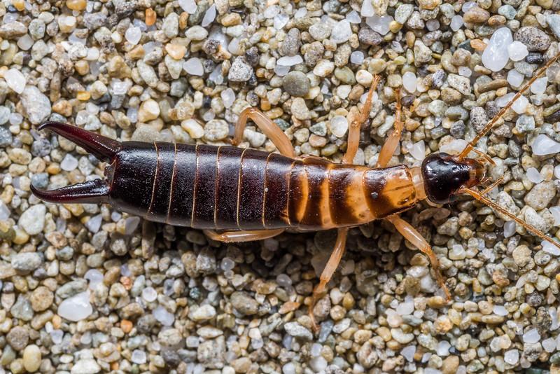 Seashore earwig / matā (Anisolabis littorea). Stafford Bay, South Westland.