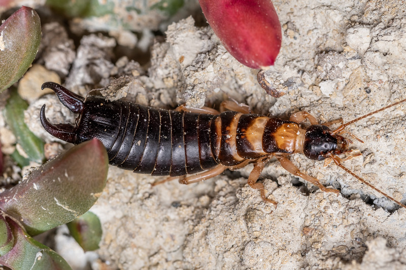 Seashore earwig / matā (Anisolabis littorea). Marfells Beach, Marlborough.