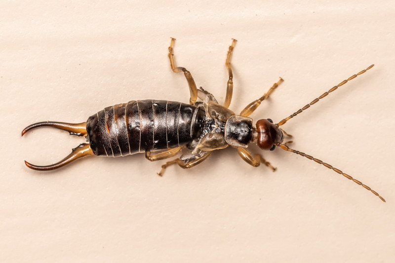 European earwig (Forficula auricularia). Patricks Point, Humboldt County, California.