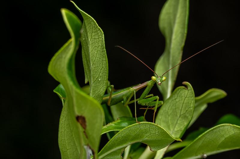 South African mantis (Miomantis caffra). Coromandel.