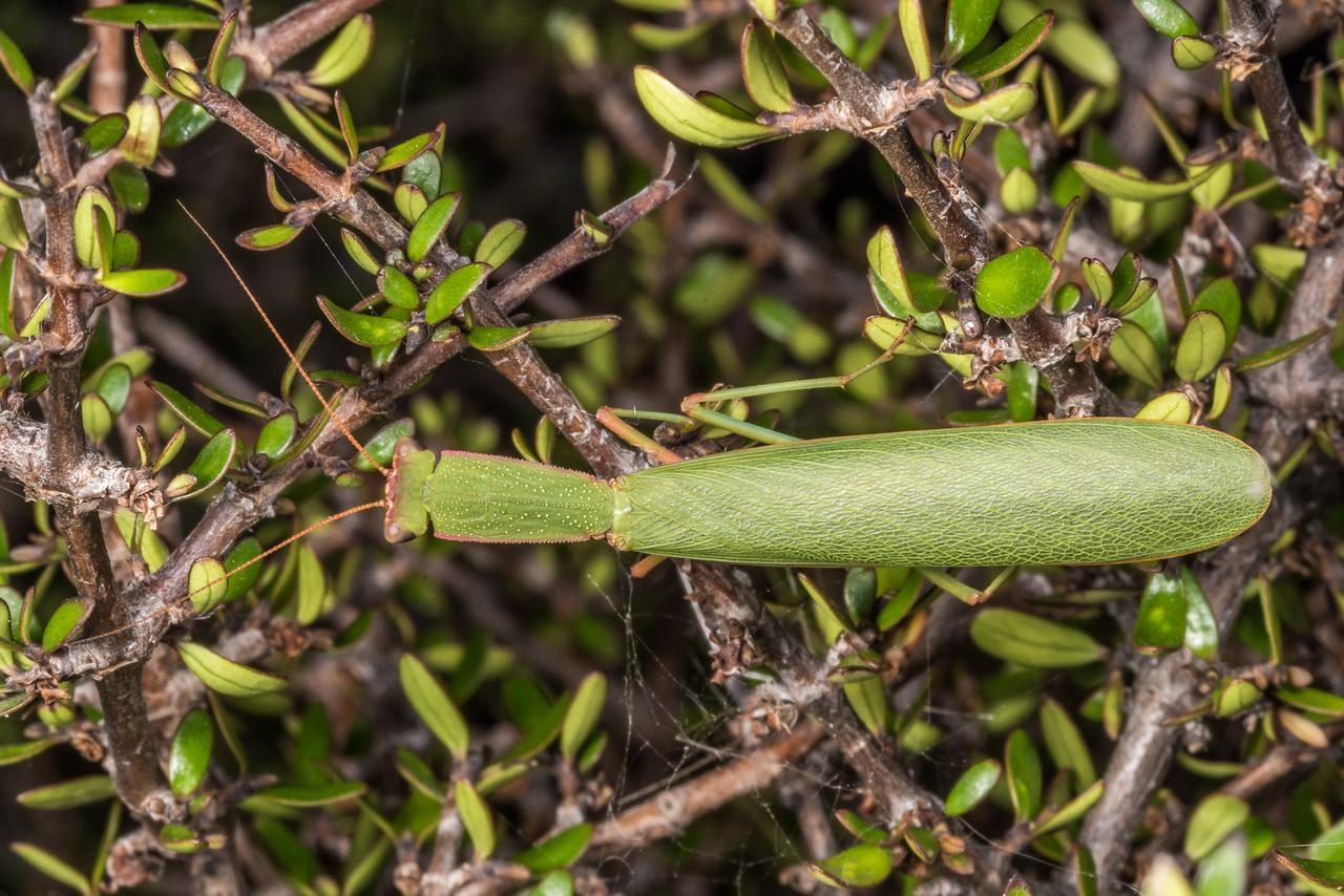 New Zealand Mantis (Orthodera novaezealandiae). Butchers Dam, Alexandra, Central Otago.