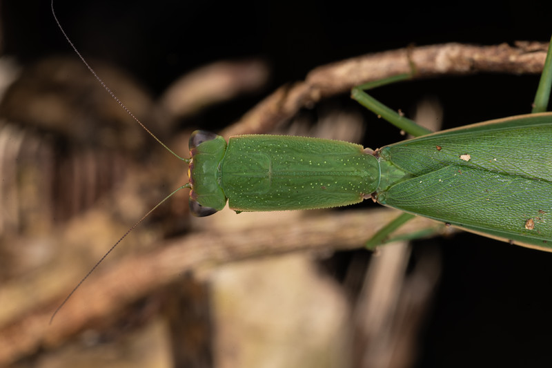 New Zealand mantis (Orthodera novaezealandiae). Waterworks Walk, Ngaruawahia.