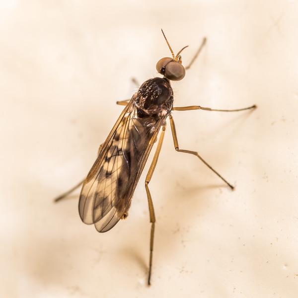 Outhouse fly (Sylvicola neozelandicus), male. Perry Saddle Hut, Heaphy Track, Kahurangi National Park.