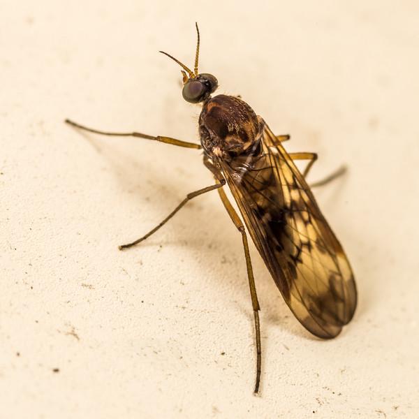 Outhouse fly (Sylvicola neozelandicus), female. Green Lake Hut, Fiordland National Park.