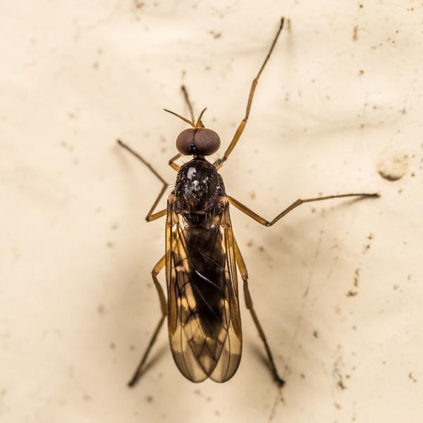 Outhouse fly (Sylvicola neozelandicus), male. Green Lake Hut, Fiordland National Park.