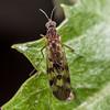 Outhouse fly (Sylvicola undulatus), female. Opoho, Dunedin.