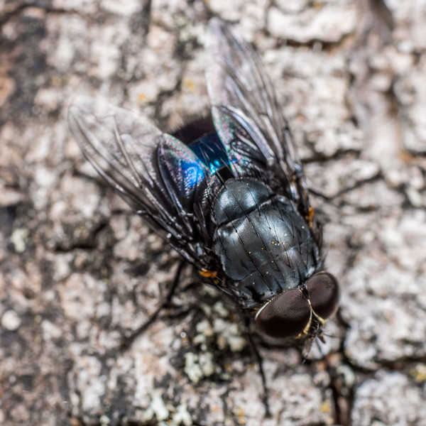 New Zealand blue blowfly (Calliphora quadrimaculata) male. Deep Stream, Otago.